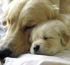 Sleeping golden retrievers, doesn't get much cuter #goldenretriever