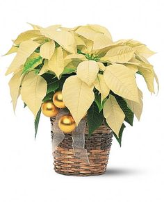 White Poinsettia Flowers for baby shower centerpieces
