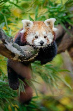 Adorable. Red. Panda.