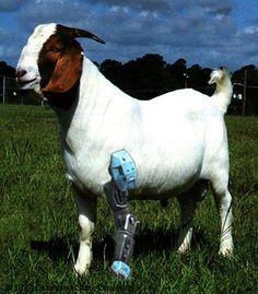 Three legged goat with a fake leg.