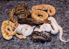 caramel albino python - Google Search