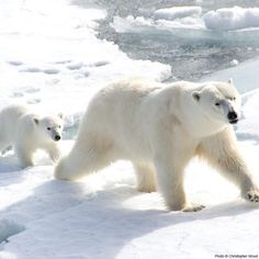 Your donation will goes toward research and the conservation of diminishing polar bear habitat. It is imperative to help polar bear habitat now before it's too late.