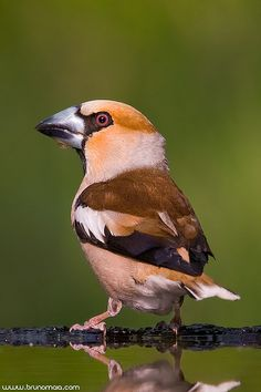 The Hawfinch is a small bird, whose most notable feature is evidenced in its common name - the nozzle. Triangular in shape, its strength may exceed the pressure of why can feed on hard fruits and seeds. Kinds Of Birds, Birds 2, Small Birds, Little Birds, Colorful Birds, Wild Birds, Love Birds, Most Beautiful Birds, Pretty Birds