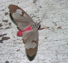 Amerila astreus, via Flickr.