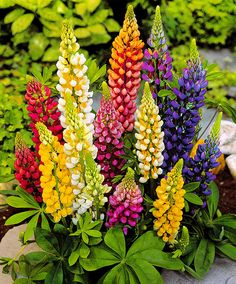 Dwarf lupins Mix 'Gallery Mixture '- plant. Lupinus (Russell Group) 'Dwarf Gallery Mixture'. The dwarf lupins mix of Bakker (Lupinus russel dwarf 'Gallery Mixture') are just as beautiful as the famous high lupins, but these are low-growing. This dwarf lupins are also very suitable for smaller gardens. If the faded flower clusters are regularly clipped, a second flowering stimulated.