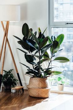 Update your interior for 2020 by adding a beautiful living plant to your home. Fakes are out so try easy to care for varieties such as a rubber plant. Fake Plants Decor, House Plants Decor, Hanging Plants, Indoor Plants, Living Room Plants, Bedroom Plants, Best Indoor Trees, Sempervivum, Rubber Tree