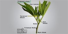 Clones 101 Getting the best clones 3 Cloning Cannabis 101: Get The Best Possible Clones