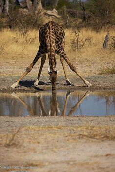 Great shot by Norman of a #Giraffe Drinking at Abu Camp, #Okavango Delta, #Botswana. #photography