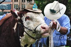 #HEREFORD #BULL WITH #AKUBRA #HAT IN #HYDE #PARK ! Quality Prints Cards at:  http://kaye-menner.artistwebsites.com/featured/hereford-bull-with-akubra-hat-in-hyde-park-kaye-menner.html  -