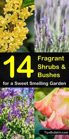 plants Home drought tolerant - 14 Fragrant Shrubs and Bushes for a Sweet Smelling Garden Bushes And Shrubs, Flowering Bushes, Lilac Bushes, Drought Tolerant Shrubs, Planting Shrubs, Garden Shrubs, Flower Landscape, Amazing Flowers, Pink Flowers