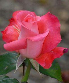 Hybrid tea roses – Home Decor Gardening Flowers Beautiful Flowers Wallpapers, Beautiful Rose Flowers, Flowers Nature, Exotic Flowers, Amazing Flowers, Pretty Flowers, Pink Roses, Pink Flowers, Hybrid Tea Roses