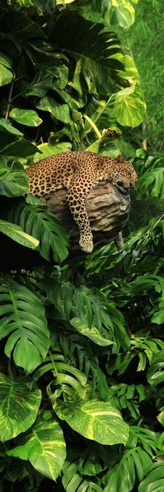 Atlantic Forest - Jaguar or Onça-Pintada (Panthera onca)
