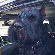 14 Massive Facts About Giant Schnauzers Black Schnauzer, Schnauzer Breed, Schnauzer Grooming, Standard Schnauzer, Giant Schnauzer, Schnauzers, Baby Dogs, Pet Dogs, Dog Cat