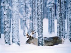 caribou and winter trees