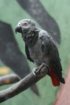 Серый попугай (жако)