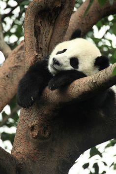 Cute sweet panda in a tree