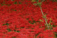 red spider lily filed by Sky-Genta, via Flickr  Sept. 2004