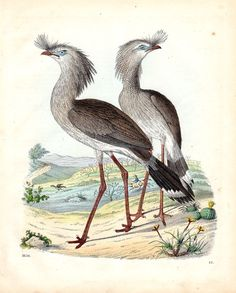 1856 Cariama Crane Antique Bird Print by AntiquePrintGallery