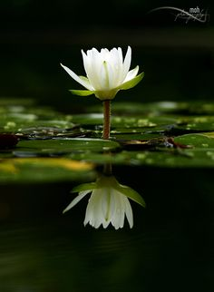 Purity by Mohan Duwal - the reflection make the flower seem so delicate. Beautiful.