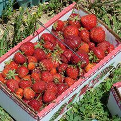 Strawberry Fields Forever, Flightless Bird, Red Aesthetic, Harvest, Picnic, Fruit, Fleet Foxes, Cottage, Glitters