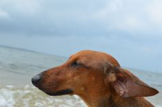 big noses are #beautiful  #dachshund #profile #dogs #pets #hotdogs #cute