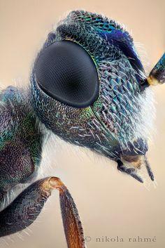 Eupelmid wasp in studio by nikolarahme, via Flickr