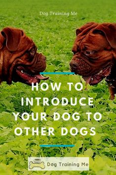 How to introduce dogs. Do you want your dog to socialize with other dogs more? Learn how to introduce your dog to other dogs calmly. We tell you everything you need to know about how to meet new dogs and make new friends in our article! #introducedogs #dogsocialisation