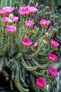 Echinocereus blankii