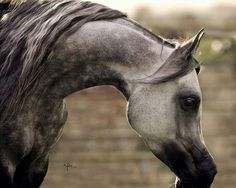 RAFA'A. 2009 Grey Russian-related mare. IM Bayard Cathare {Padrons Immage x Shamilah Bagheera by Nadir I } x Holyah {Canyon x Veora by Balaton} Owned and bred by The Royal Cavalry of Oman.
