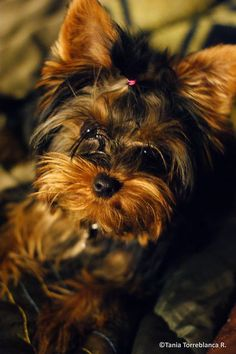 yorkieness = cuteness