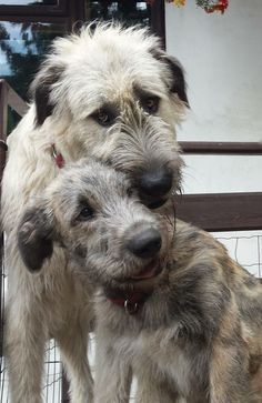 Irish Wolfhound Dog and Puppy with Cream and Blue Fawn Colourations. Cute Puppies, Cute Dogs, Dogs And Puppies, Doggies, Irish Wolfhound Puppies, Irish Wolfhounds, Big Dogs, I Love Dogs, Drag