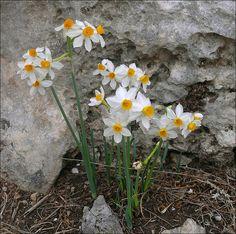 Narcissus tazetta, Shoam (Shoham) Forest Park, Israel
