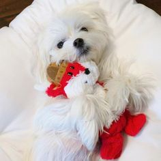 Sweet photo of a Maltese puppy hugging her stuffy. Awwwwww.