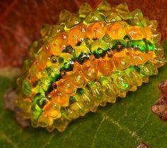 Dalceridae Slug - Also known as the jewel slug