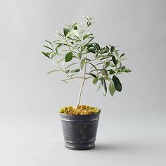 Give the gift of the Tuscan countryside with this potted olive tree, ready for display in a metal pot.- A terrain exclusive - Olive tree, soil, preserved sheet moss, metal pot, plastic grower's pot- Indoor or sheltered outdoor use- Keep indoors with bright or direct sunlight at room temperature (65-80 degrees F). Avoid drafts, vents, and temperature extremes. - Water thoroughly when soil is dry to touch. Outer pot does not drain. Remove grower's pot when watering and allow excess water to…