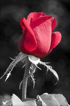 red rose art - Pesquisa Google