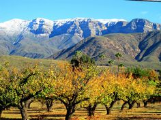 Ojai, fall colors on apricots, palms, and snow-capped Topa Topa bluffs