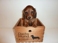 Dachshund, no assembly required.