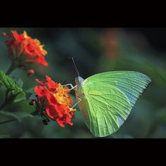 Green butterfly by -clicking-, via Flickr