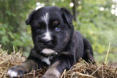 Kato~ is an adoptable Husky Dog in Pearl River, NY. Kato is a sweet little 6 week old male Husky/Black Lab puppy surrendered to our rescue in TN. He loves other dogs and really loves to play with adul...