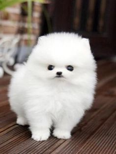 102 Best Pet Pomeranian Images Cute Puppies Cute Baby Dogs