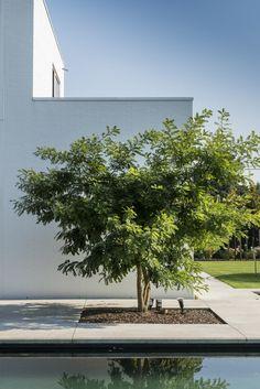 meerstammige boom in terras