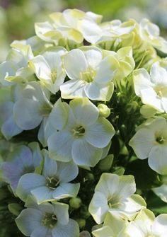 Phlox paniculata 'GreenExpectation'®