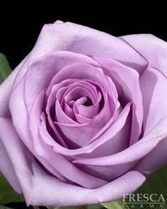 Blue Bird Rose
