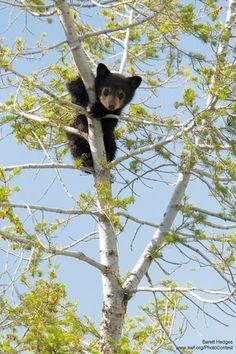 Bear cub climbing in a tree by Barrett Hedges.