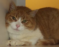 """Akron, OH. C02-043. URGENT! STILL WAITING! Summit County Animal Control Department. Petfinder link included. C02-043 has the greatest face!!! Just look at him! We think starting your day with that little face smiling at you would be """"purrfect""""!!! He is listed as an adult, Domestic Short Hair Mix. PLEASE SHARE THIS BUBBA WITH THE ADORABLE FACE FAR AND WIDE!!! LET'S FIND HIM A HOME NOW!!!!!!!!!!"""