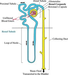 anatomy and physiology  physiology and animals on pinterestnephron reabsorption secretion diagram   google search