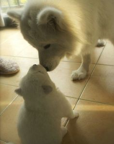 Samoyed or American Eskimo Dog? Hard to tell in close ups, but the hairless ankles make me think Eskimo. Cute Puppies, Cute Dogs, Dogs And Puppies, Doggies, Beautiful Dogs, Animals Beautiful, Cute Baby Animals, Funny Animals, American Eskimo Puppy