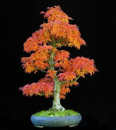 "Source:The Art of Bonsai Project Japanese Maple ""Shishigashira"" I adore these little nature works of art!"