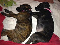 Sweet Plott Hound puppies!
